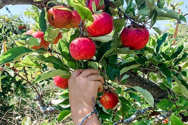 Avila Valley Barn Apples
